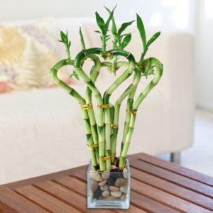 Неприхотливые комнатные растения. Декоративный бамбук