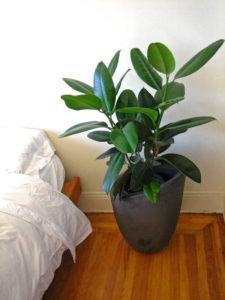 Неприхотливые комнатные растения. Фикус