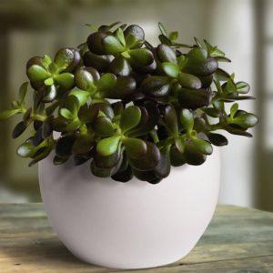 Неприхотливые комнатные растения. Толстянка (Денежное дерево)