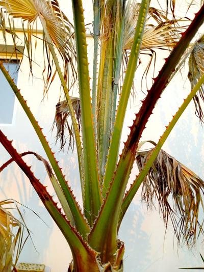 Пальма Вашингтония нитчатая